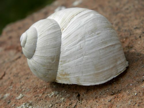 conch white snail