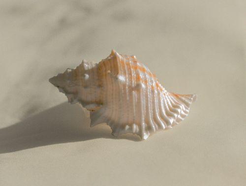conch shell molluscum
