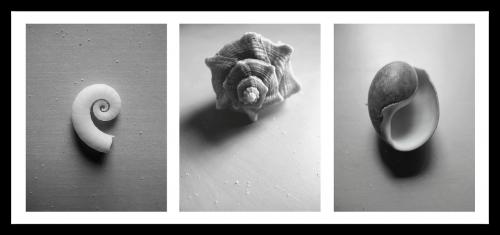 conch sea marine