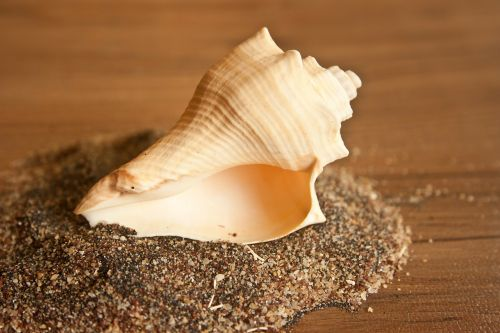 conch shell sea shell