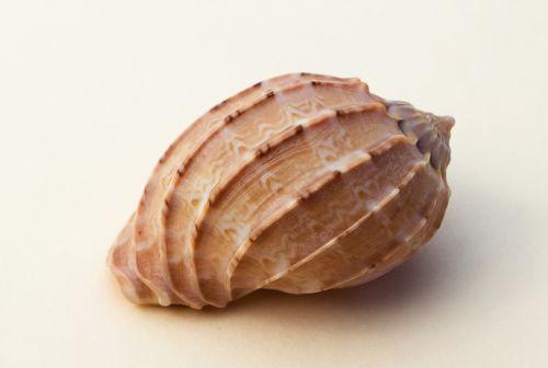 conch molluscum marine animal
