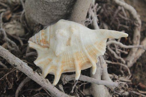conch mollusca shell