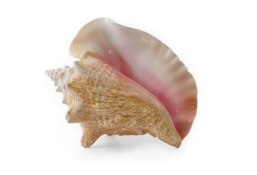 conch  shell  seashell