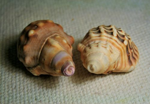Conch Shells With Patterns