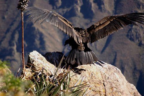 condor andes colcacanon