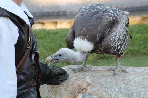 condor bird raptor