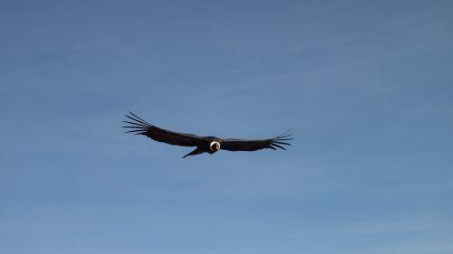 condor flight sky