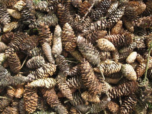 cone käpykasa conifer cones