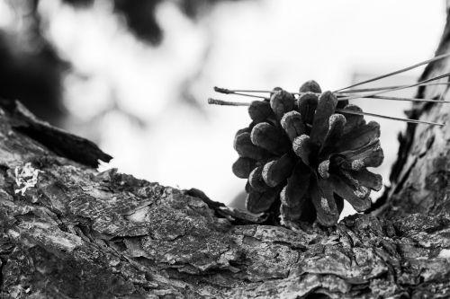 cone strain nature