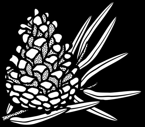 cone conifer pine