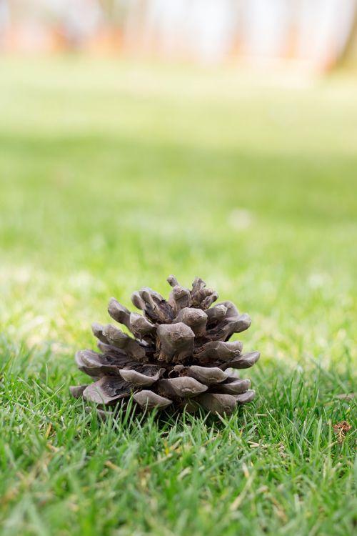 kūgis,pušis,medis,gamta,žalias,žolė,parkas,pavasaris,valgė,šviesa,dienos šviesa,natūrali šviesa,diena,istanbulas,fonas,žalumos,miškas