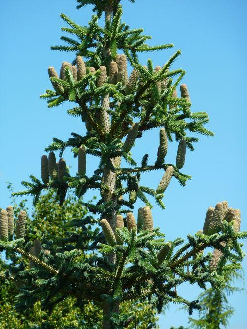 cone tree cones