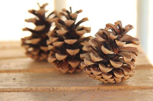 cone  wood  pine cone