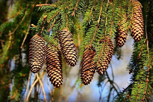 cone  pine  fruit