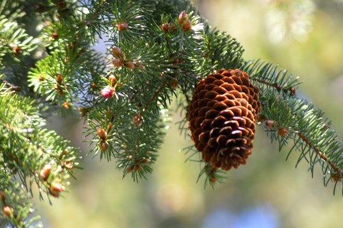 cone  tree  pine