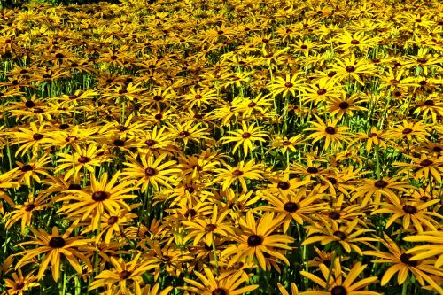 cone flower yellow cone flower flower