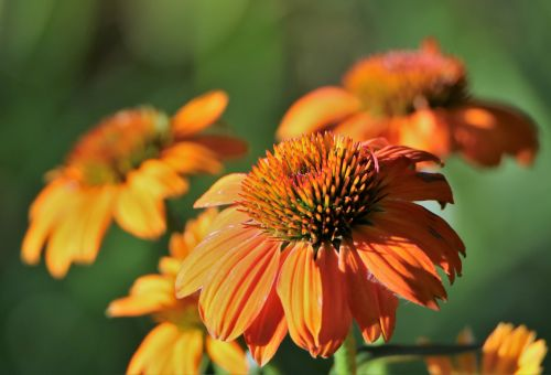 Cone Flowers In Morning Light