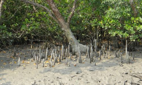cone roots mangroves flora