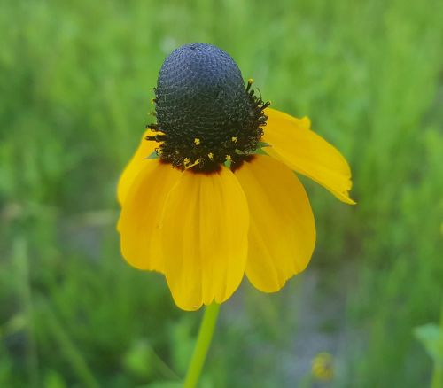 coneflower clasping-leaf coneflower flower