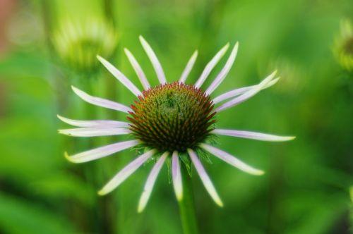 asteraceae, Echinacea, dygliuota veislė, gėlė, fonas, augalas, grynakraujis