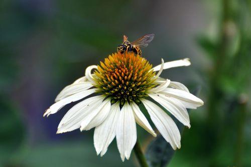 coneflower echinacea native flower