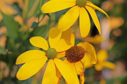 coneflower  shrub summer  yellow flower