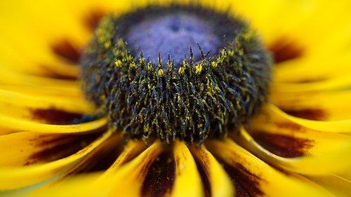 coneflower  pollen  macro