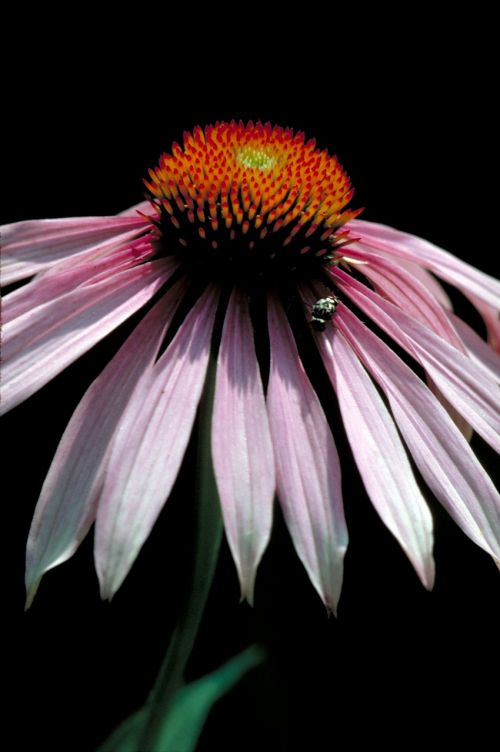 coneflower macro blossom