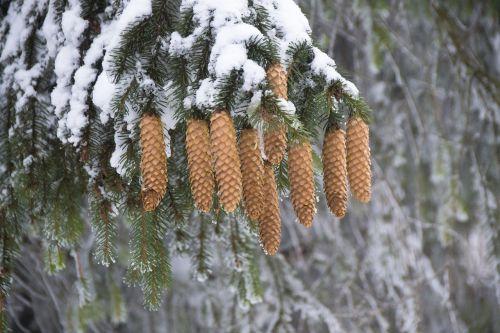 cones spruce snowy branch