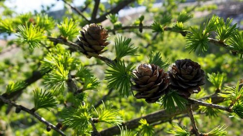 cones larch tree