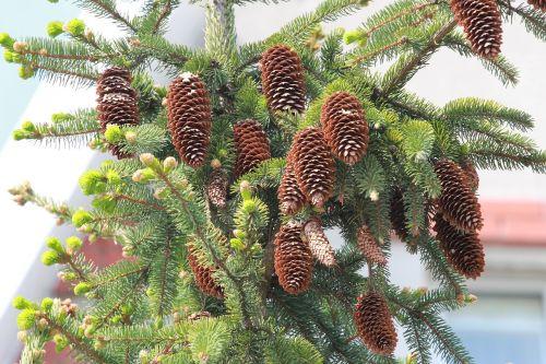 cones spruce pine cone