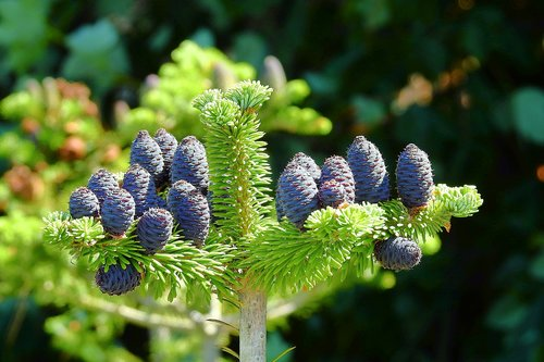 cones  tree  coniferous