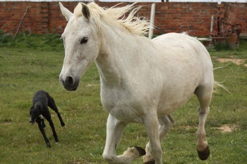 confectioner gallop greyhound