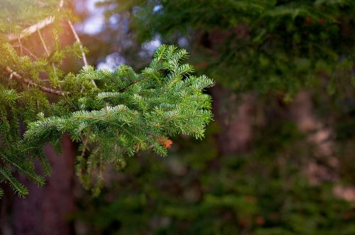 conifer branch nature