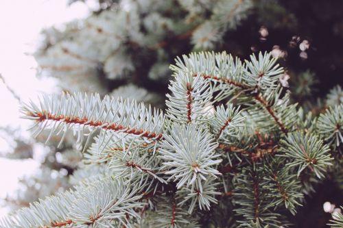 conifer needles tree