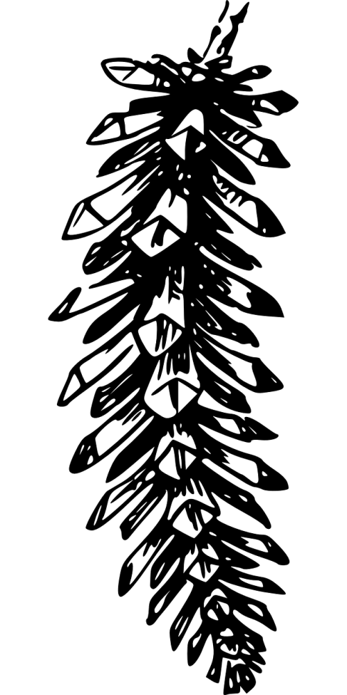 conifer spruce cone