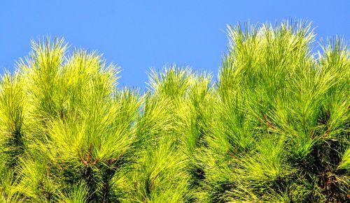 conifer pine needles pine