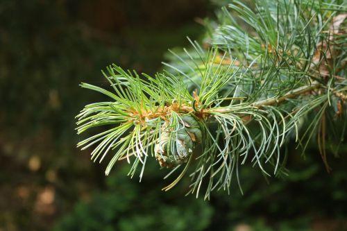 conifer branch needles
