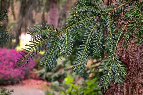 conifer branch conifer branch