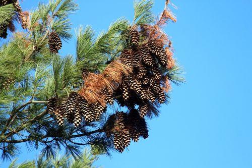conifer pine blue sky