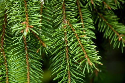conifer spruce tree