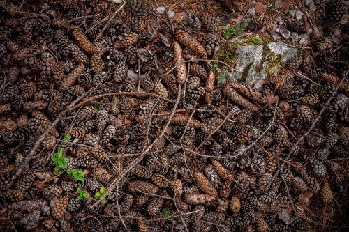 conifer cone pine plant