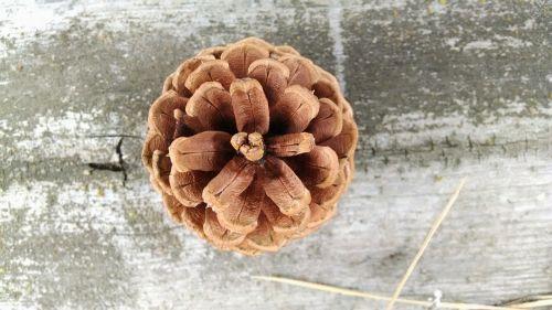 conifer cone pine cone cone