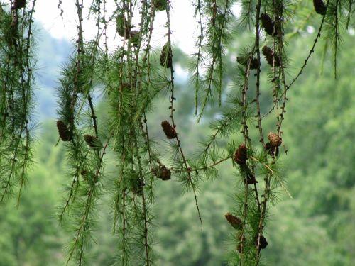 Conifer Pine Cones