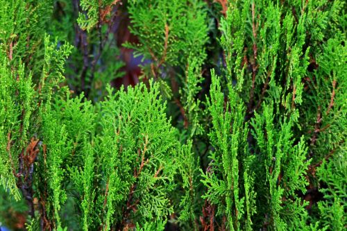 conifer tree green aromatic