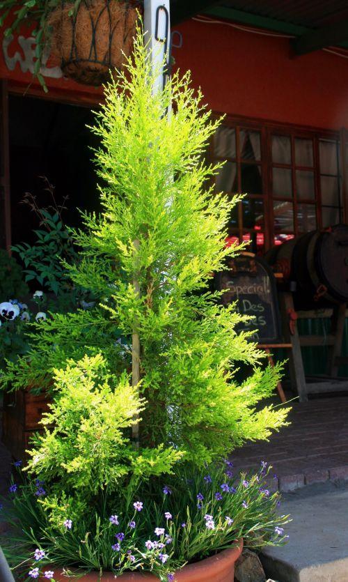 Conifer Tree In A Pot