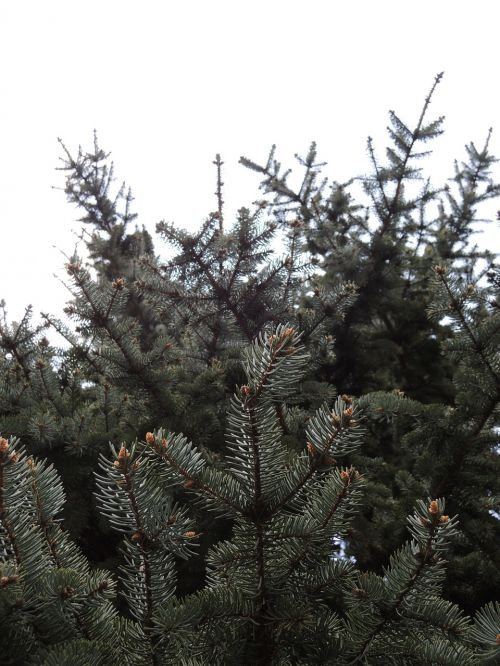 coniferous nature trees