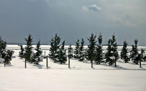 conifers winter conifer