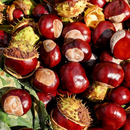 Conkers, Horse Chestnuts Wallpaper