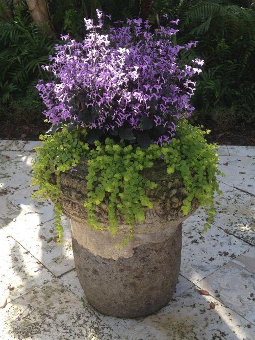 container garden creeping jenny mona lavender